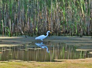 Egret-Yuba-river-wetlands
