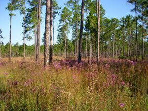 butnor longleaf stand 3 flowers - Copy